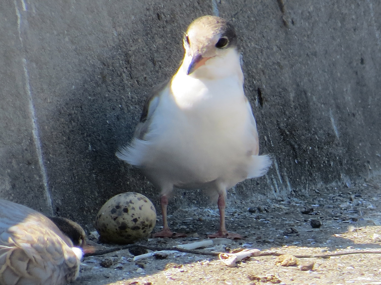 Common Terns 1500 7-17-2016 019.jpg