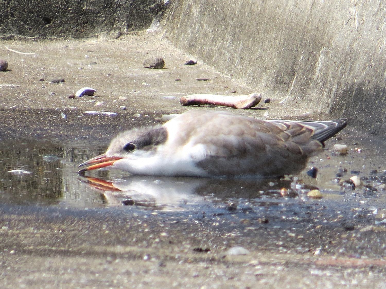 Common Terns 1500 7-17-2016 058.jpg