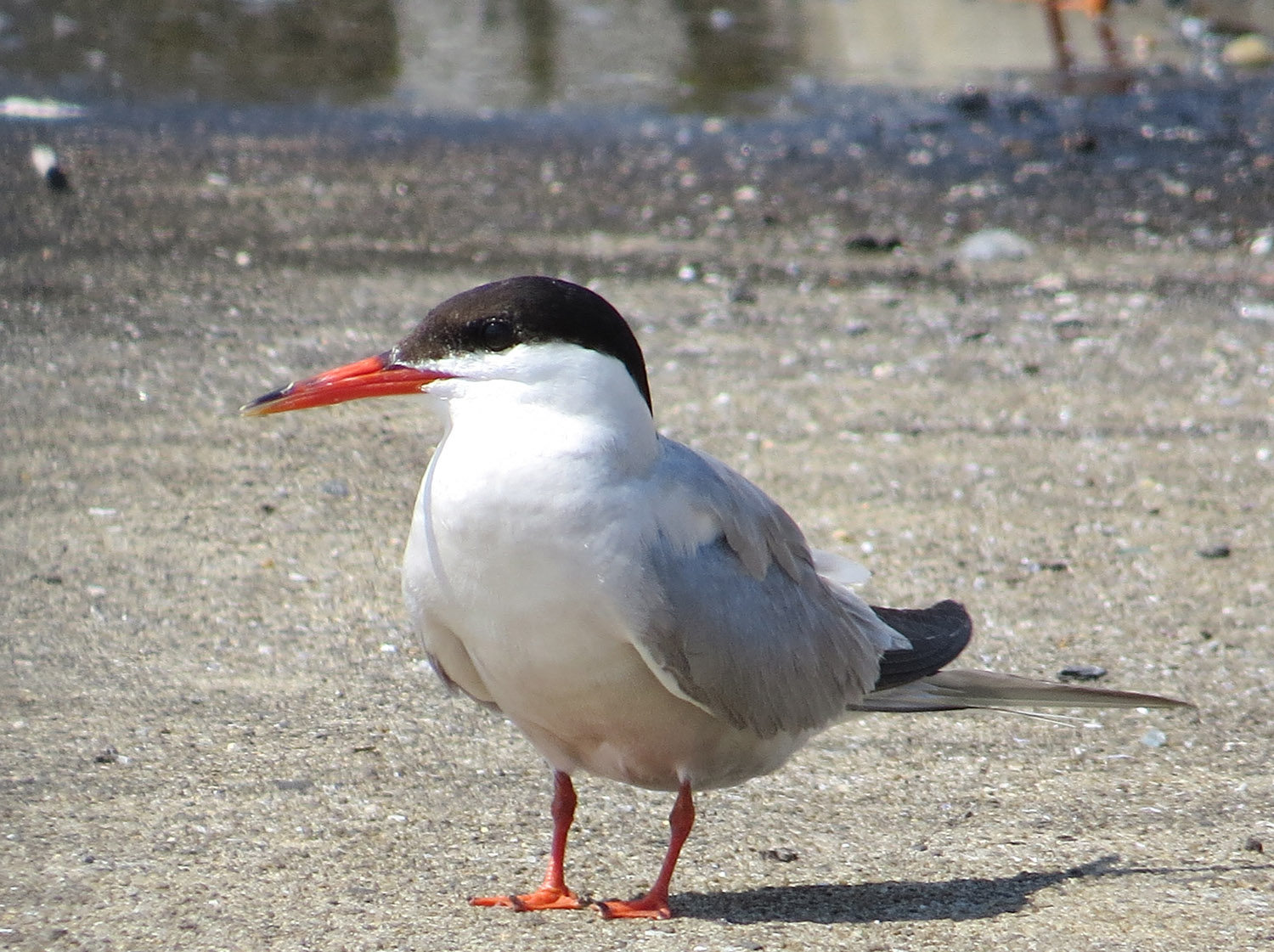 Common Tern, Governor's Island, July 17, 2016