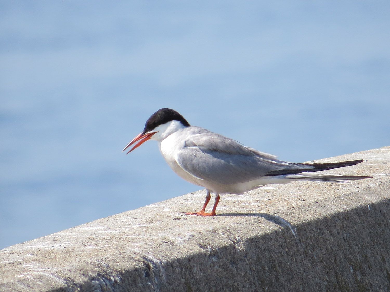 Common Terns 1500 7-17-2016 016.jpg