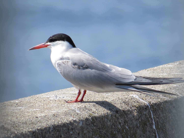 Common Terns 1500 7-17-2016 045.jpg