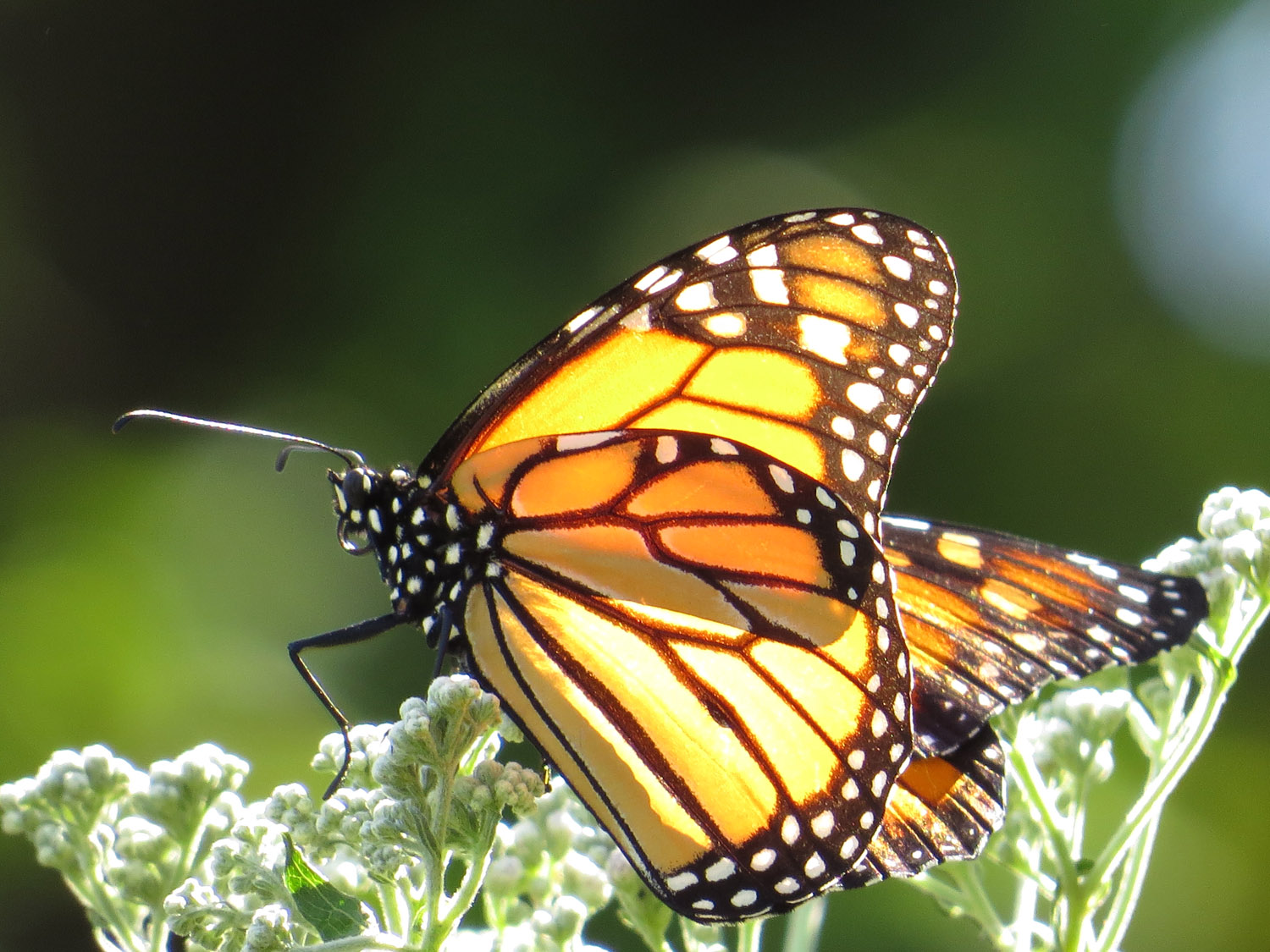 Monarch butterfly, AFTER