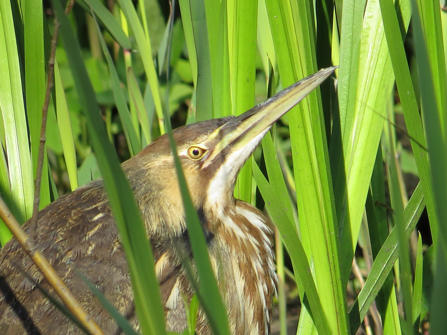 An American bittern at the south end of the Oven, May 8, 2016.