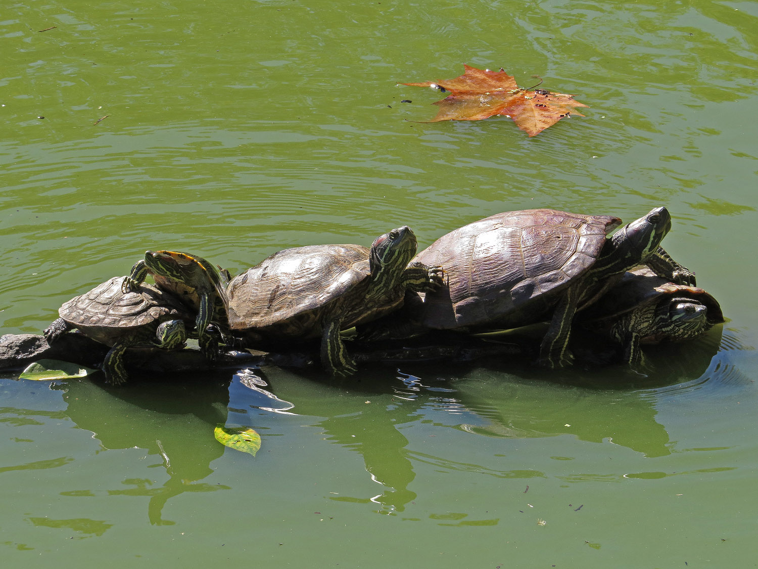 Red-eared sliders at the Lake, Central Park, Sept. 24, 2016