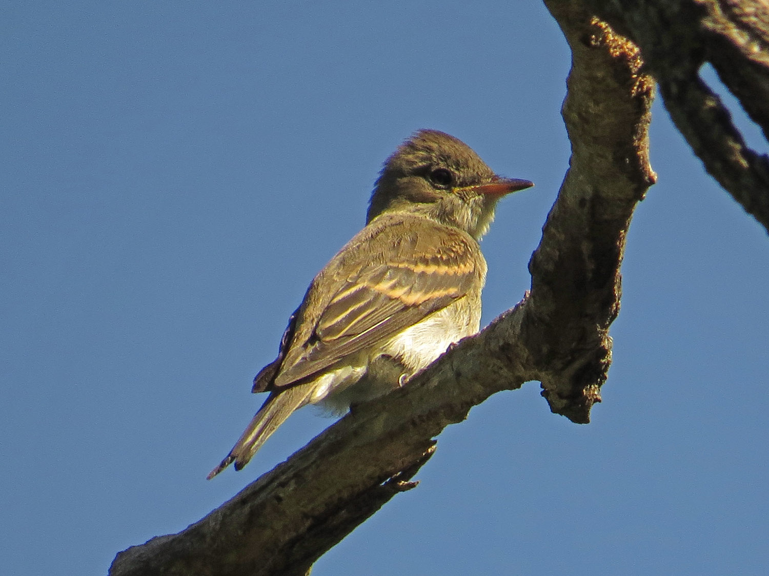 Eastern Wood-Pewee over Strawberry Field, Central Park, Oct. 6, 2016