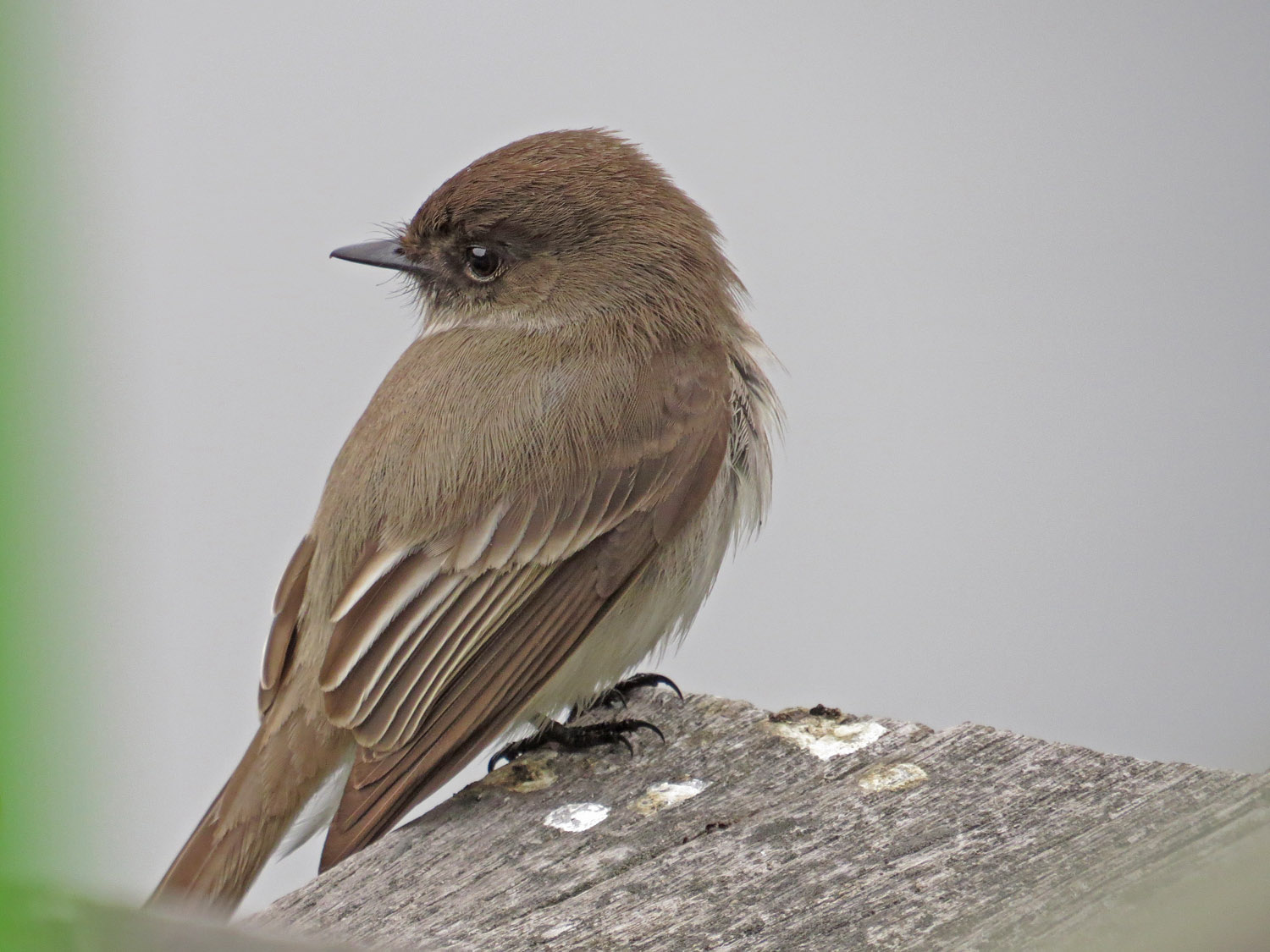 Eastern phoebe, March 31, 2015