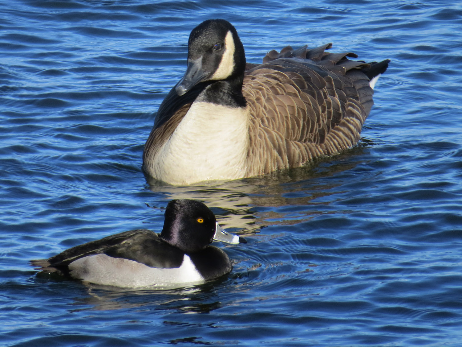 Ring-necked duck and Canada goose, January 19, 2016