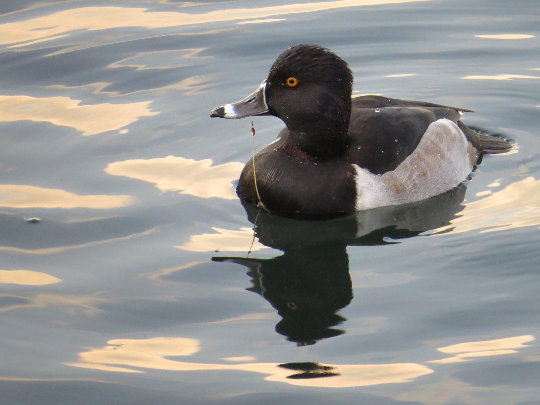 Ring-necked duck, November 20, 2014, at the Reservoir