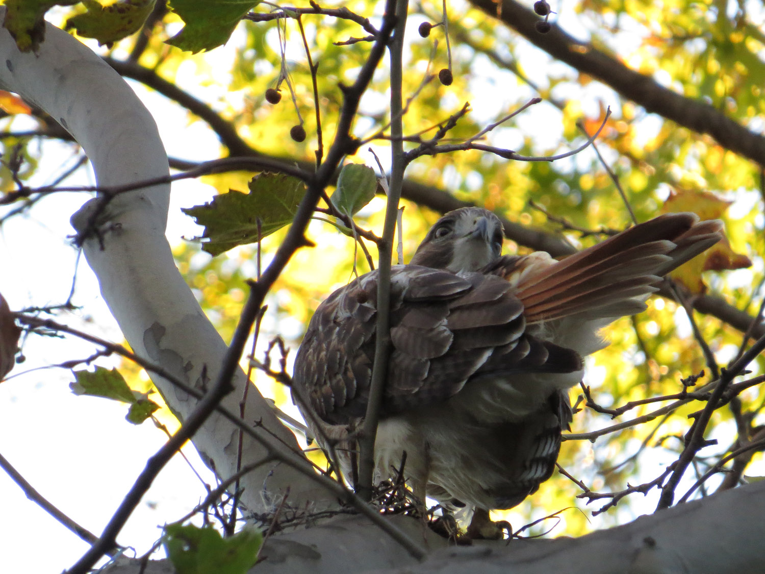 A visiting young adult red-tailed hawk near Bethesda Fountain, Oct. 28, 2016