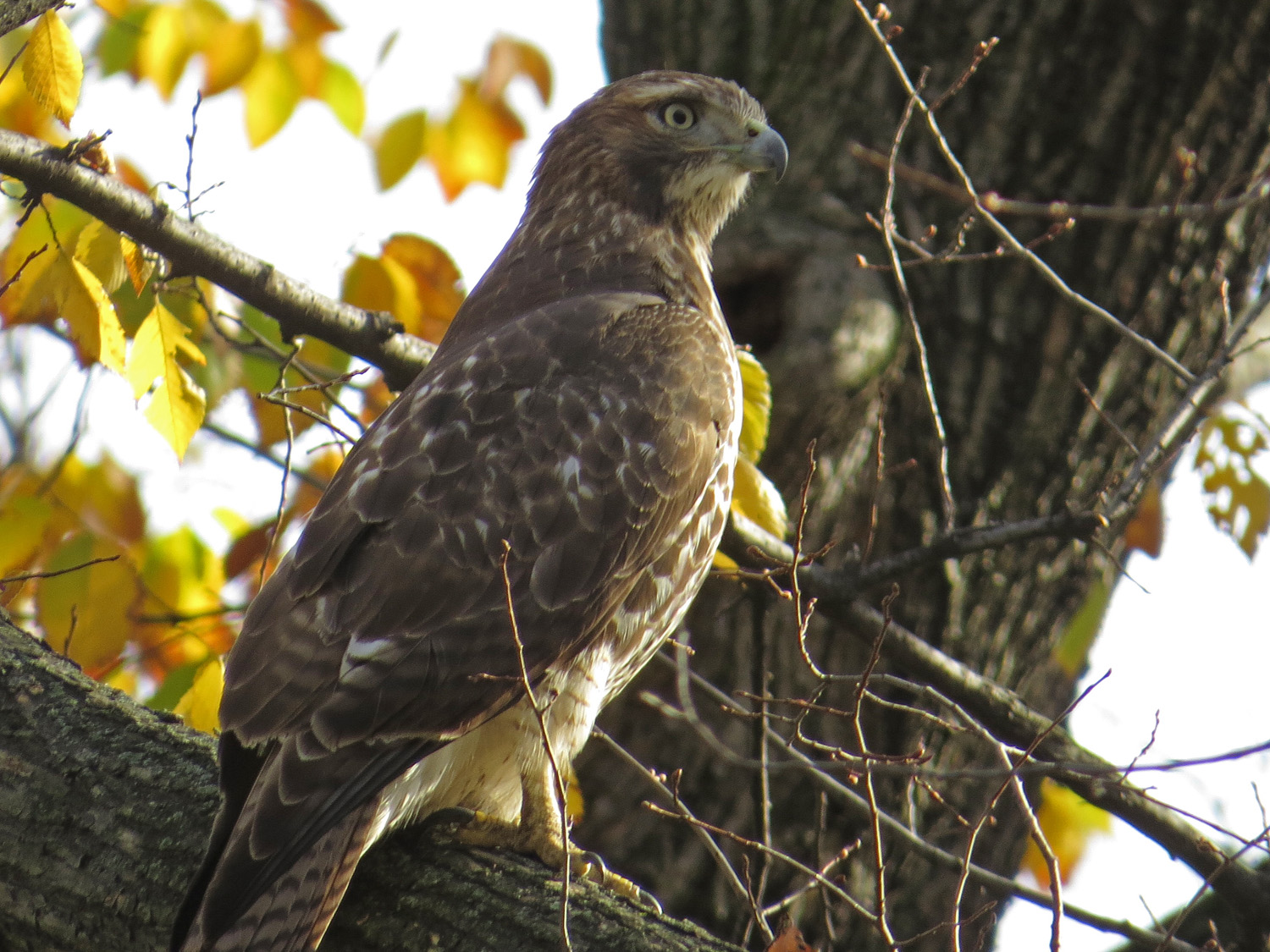 First-year red-tailed hawk over the Mall, Nov. 10, 2016