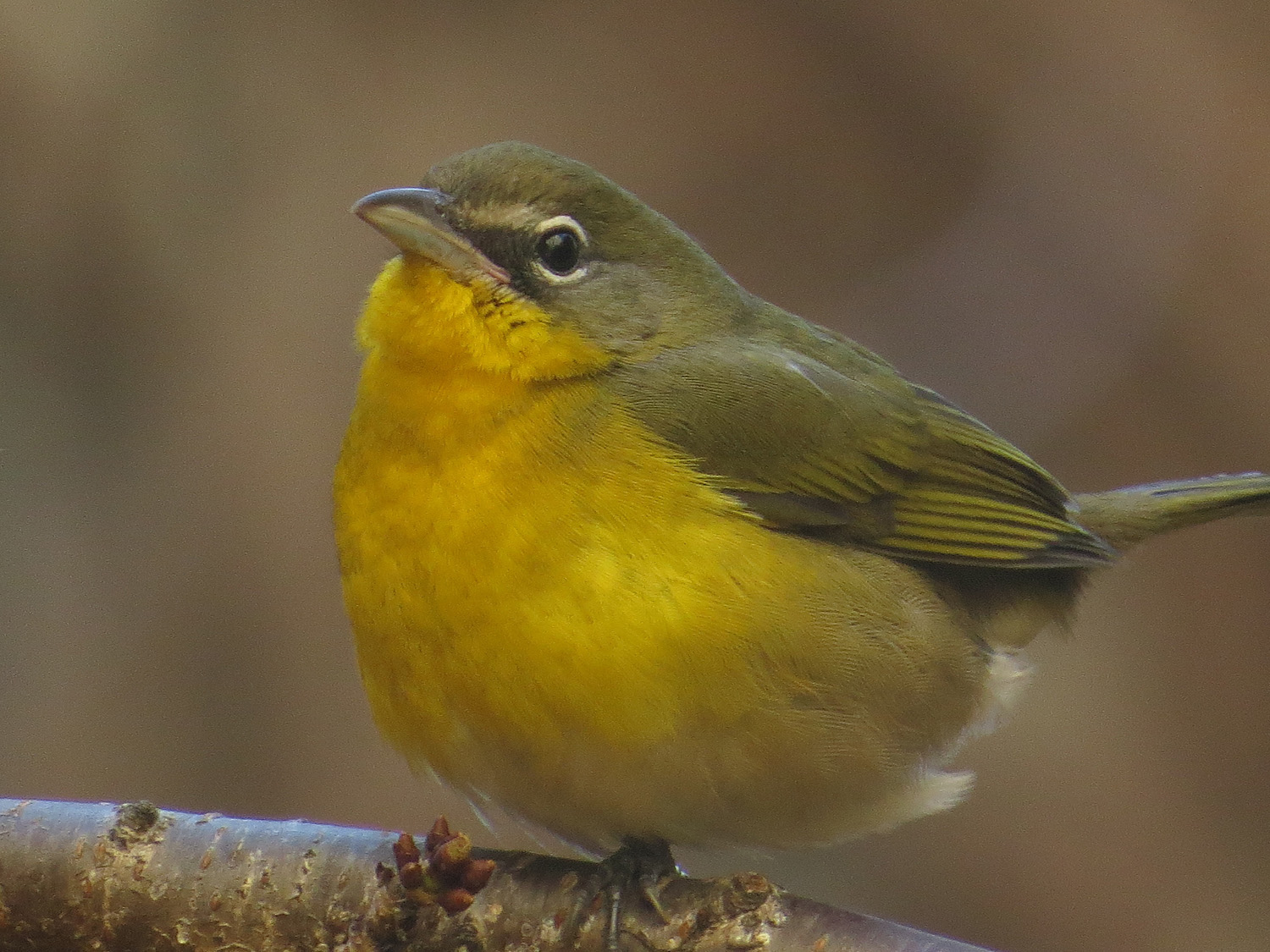 Yellow-breasted chat at Trinity Church, Lower Manhattan, Nov. 18, 2016