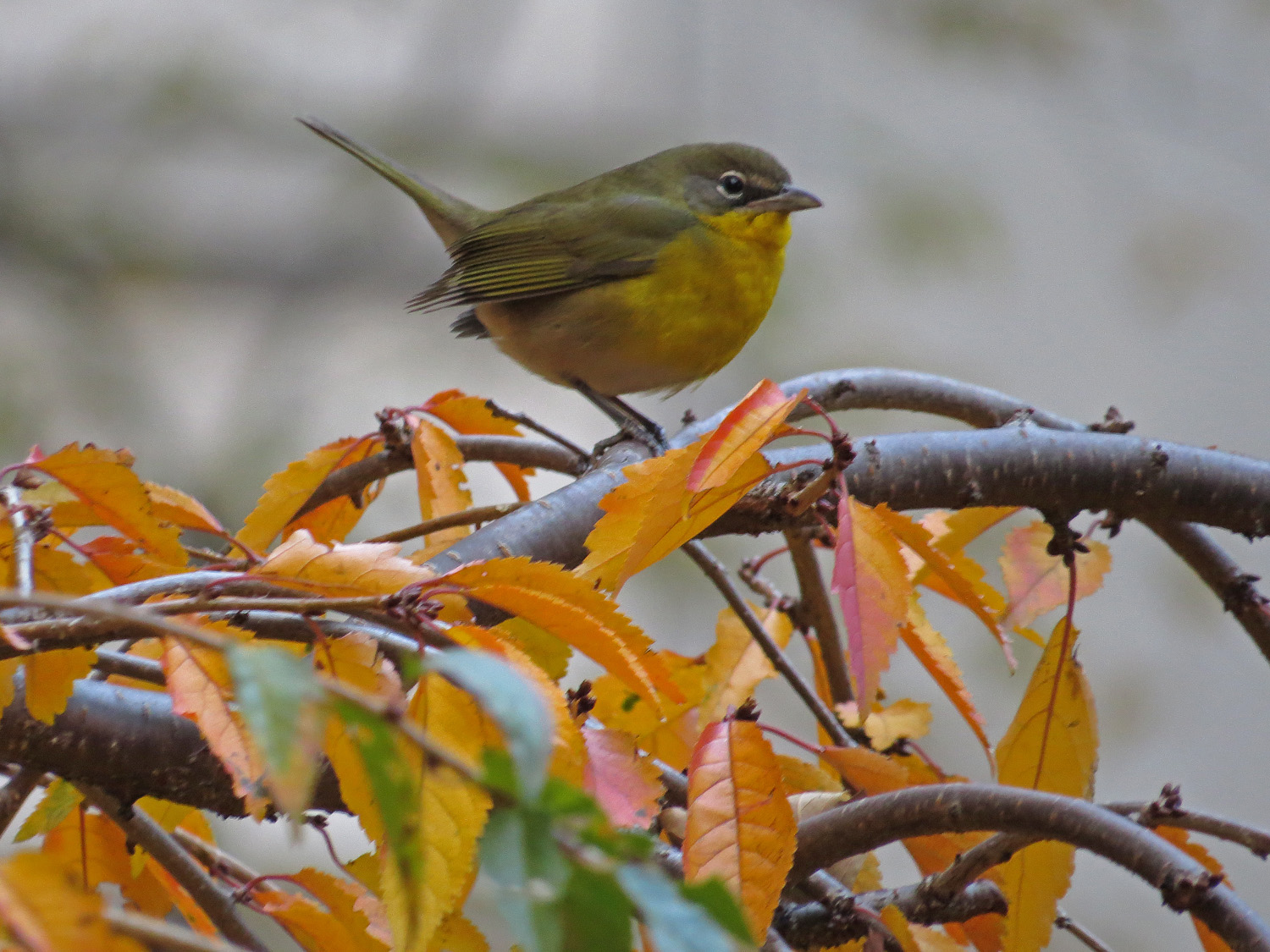 Yellow-breasted chat at Trinity Church cemetery, Nov. 18, 2016