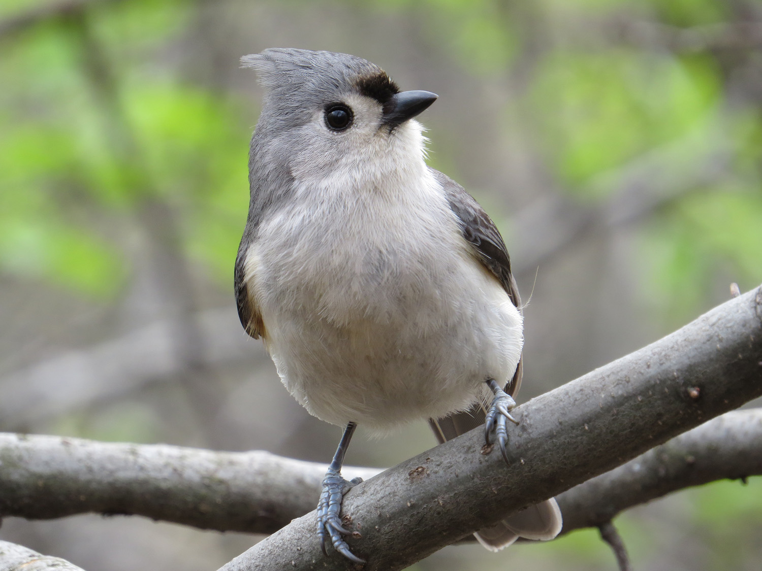 Tufted titmouse, Central Park, April 2016