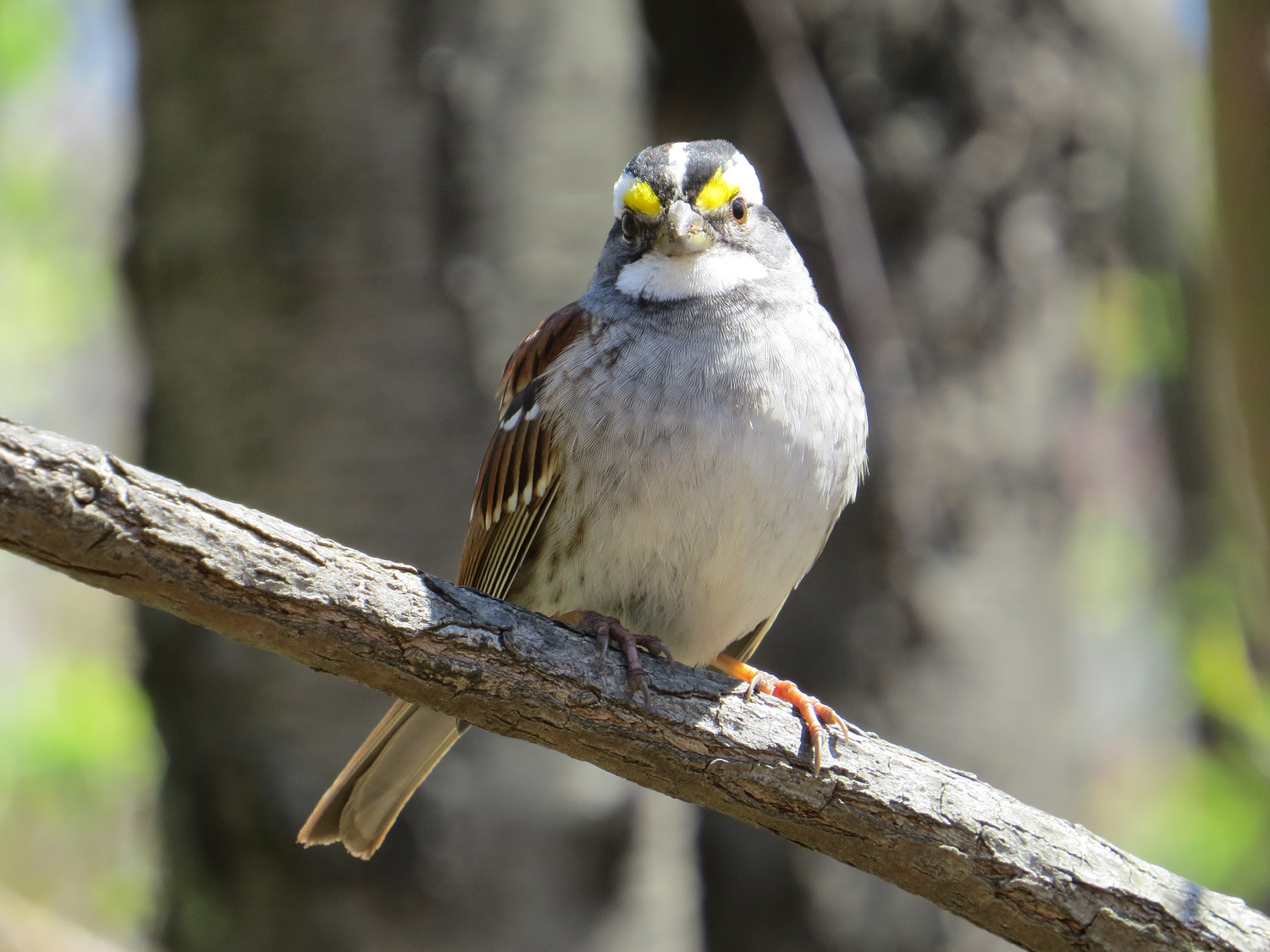 White-throated sparrow, April 15, 2016, Central Park