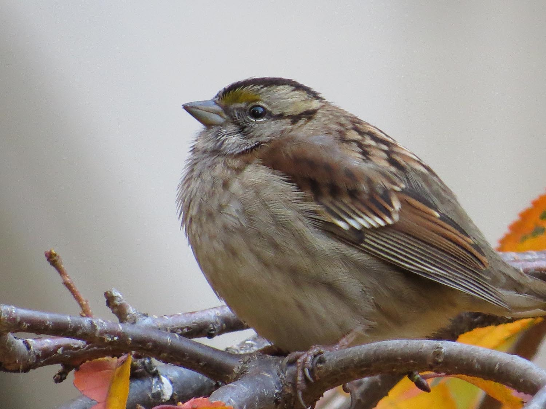 White-throated sparrow, November 2016, Trinity Church Cemetery