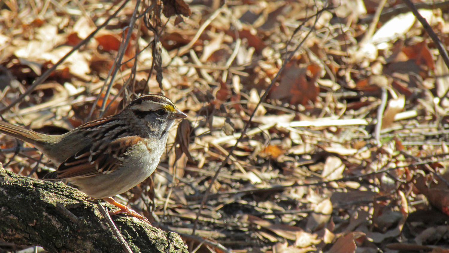 White-Throated Sparrow, Central Park, March 4, 2013