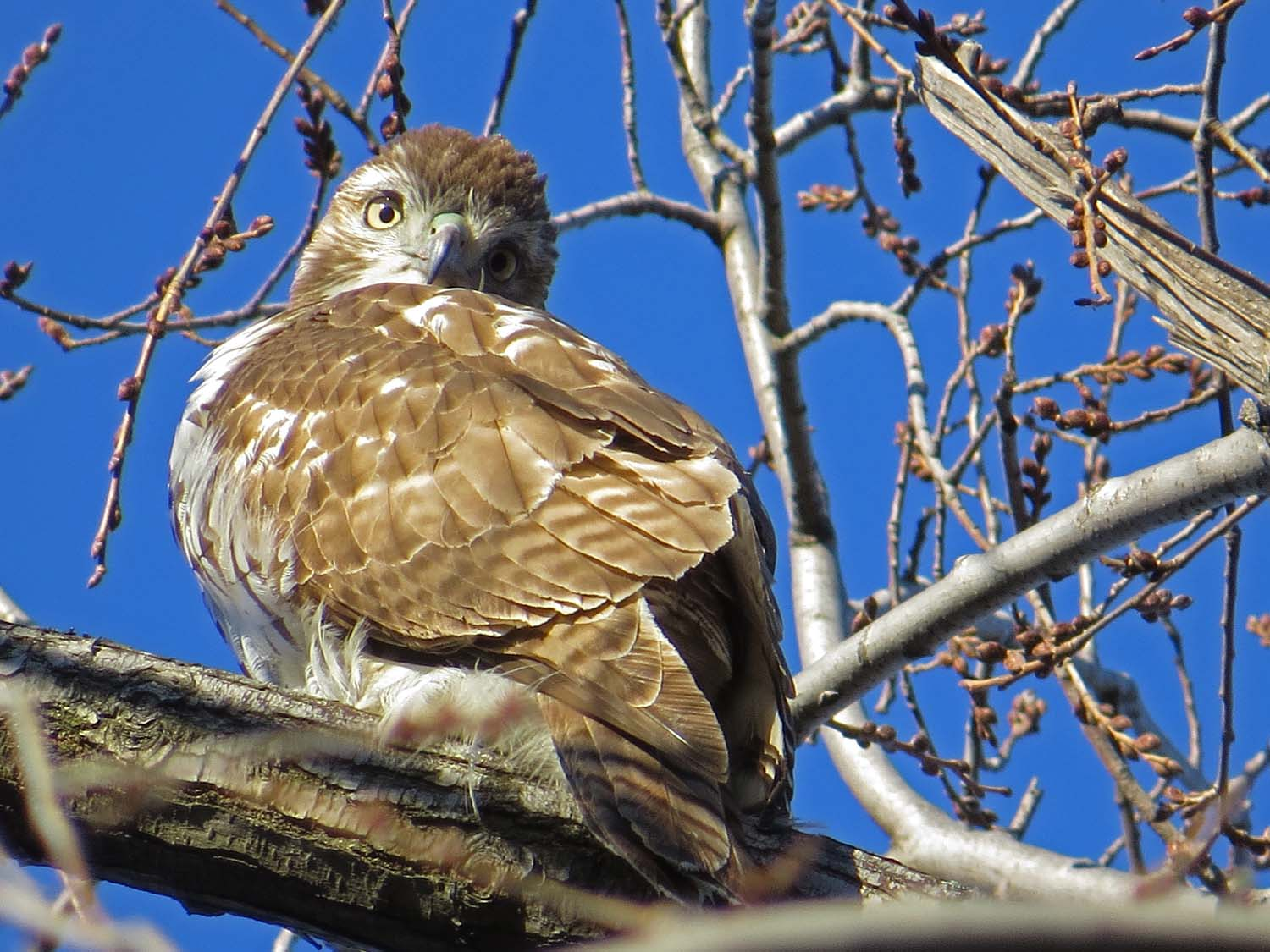 First-year red-tailed hawk, south of Bethesda Fountain, Central Park, Jan. 1, 2017