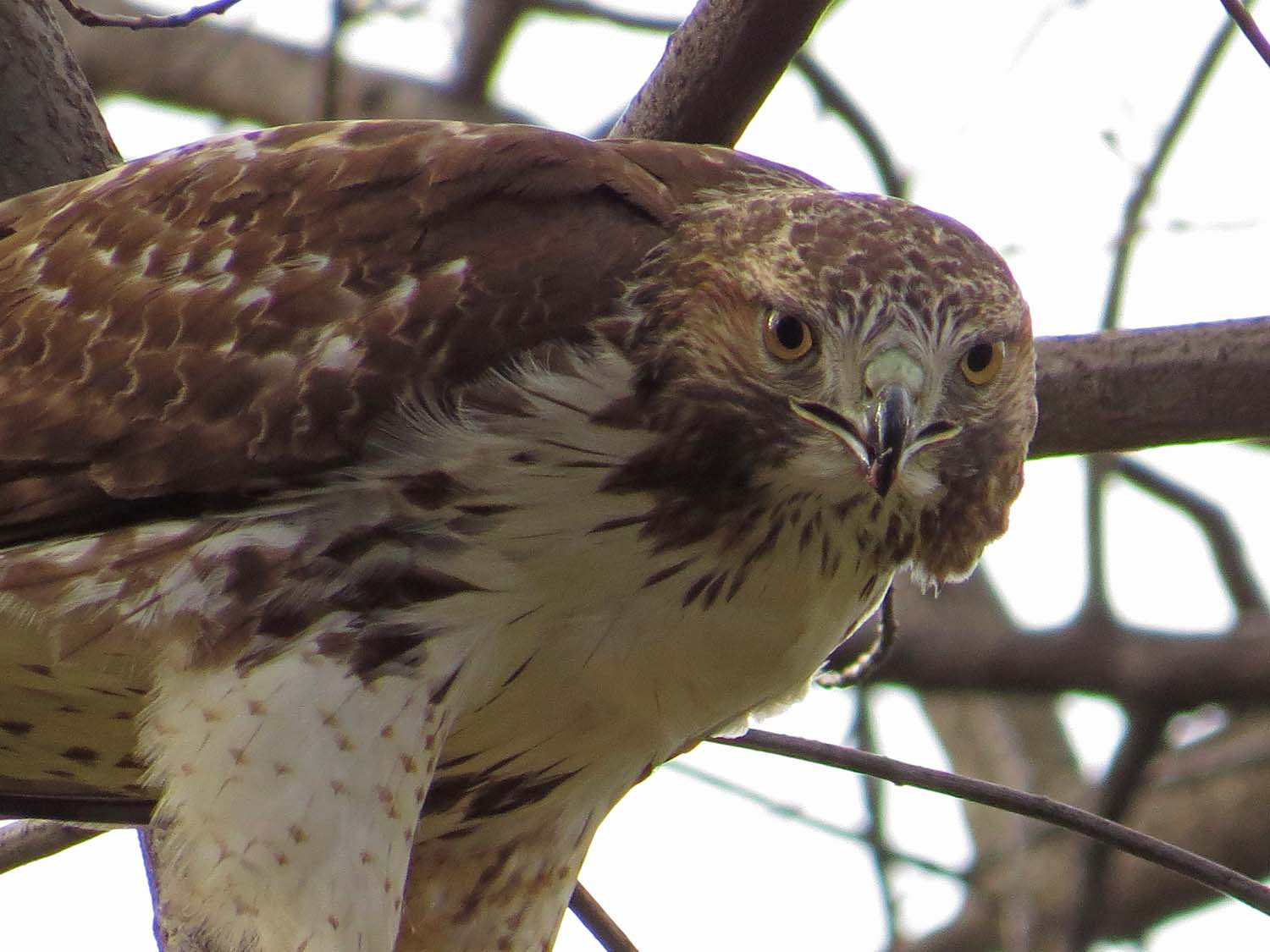 First-year- red-tailed hawk, south of Bethesda Fountain, Central Park, Jan. 12, 2017