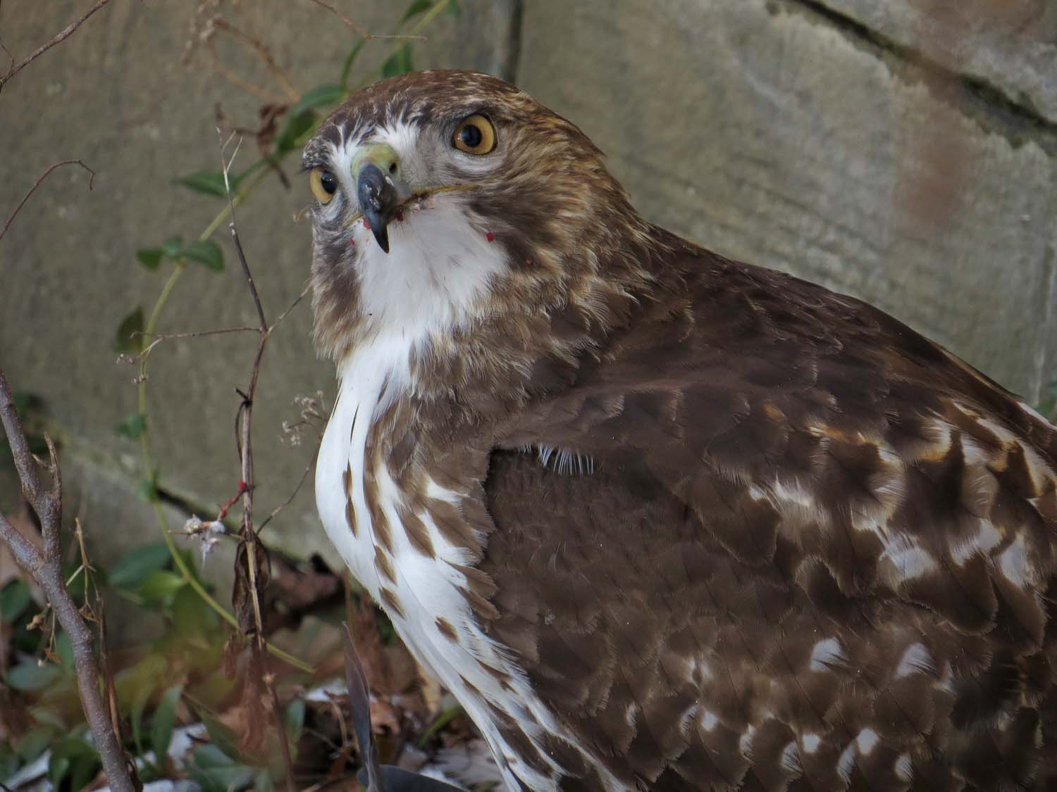 First-year red-tailed hawk dining at Bow Bridge, Jan. 15, 2017