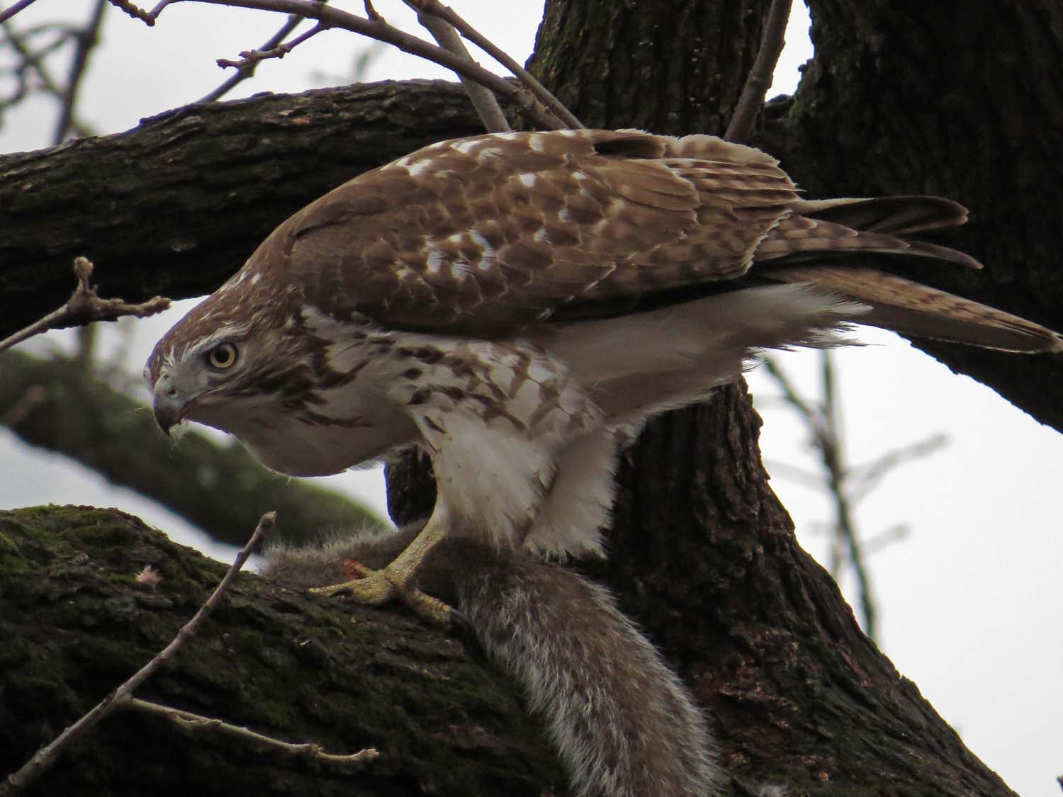 First-year red-tailed hawk with squirrel in the Ramble, Jan. 18, 2017