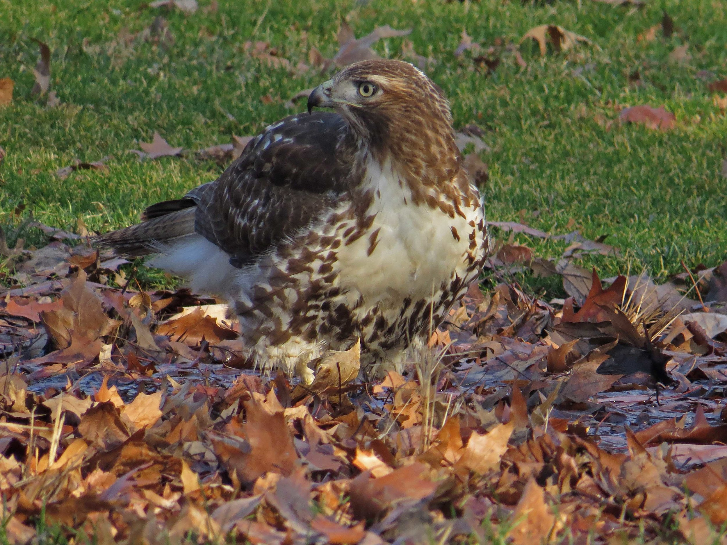 A first-year red-tailed hawk takes a bath near SummerStage, Jan. 21, 2017