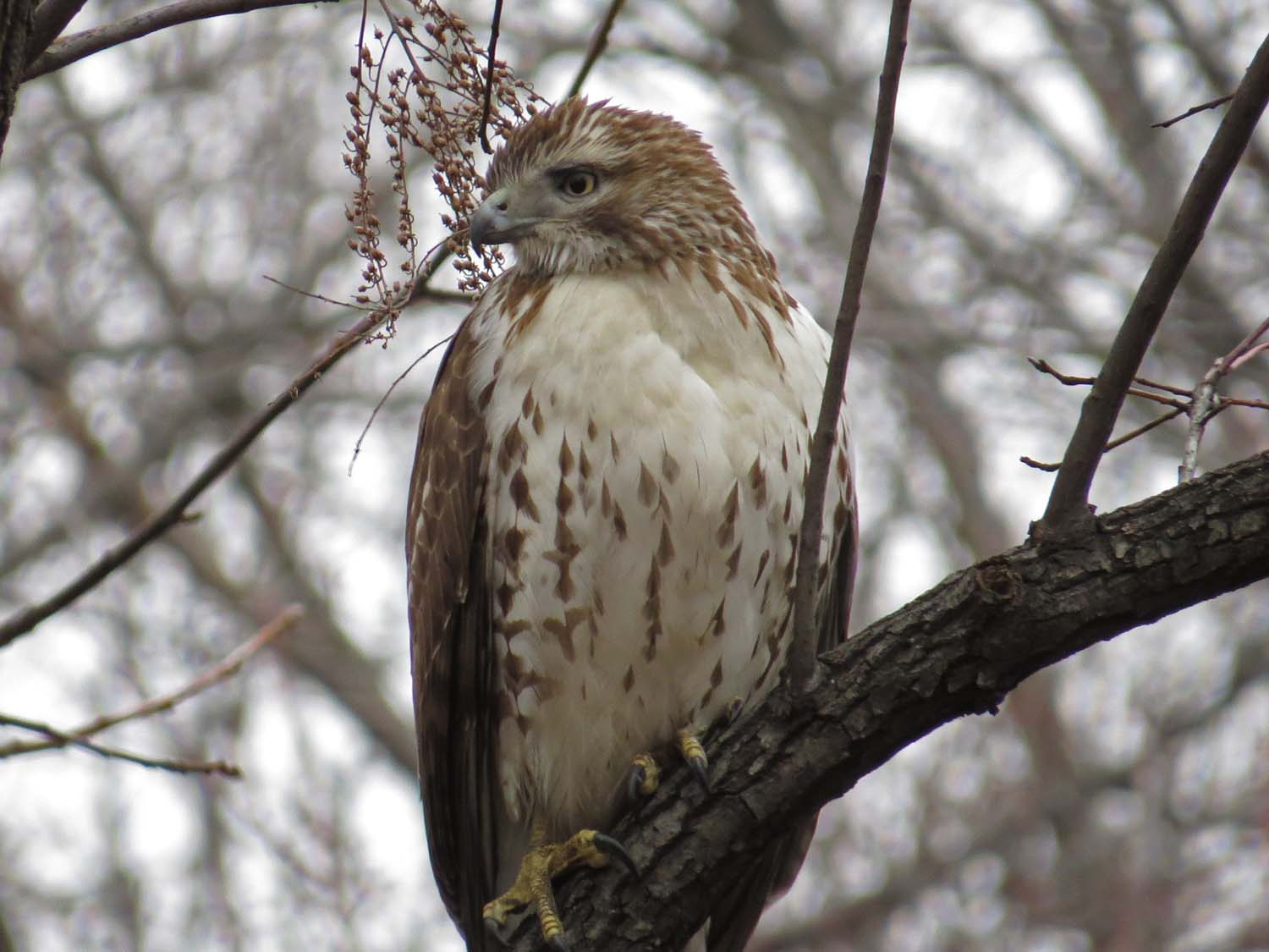 First-year red-tailed hawk, Central Park, Jan. 23, 2017