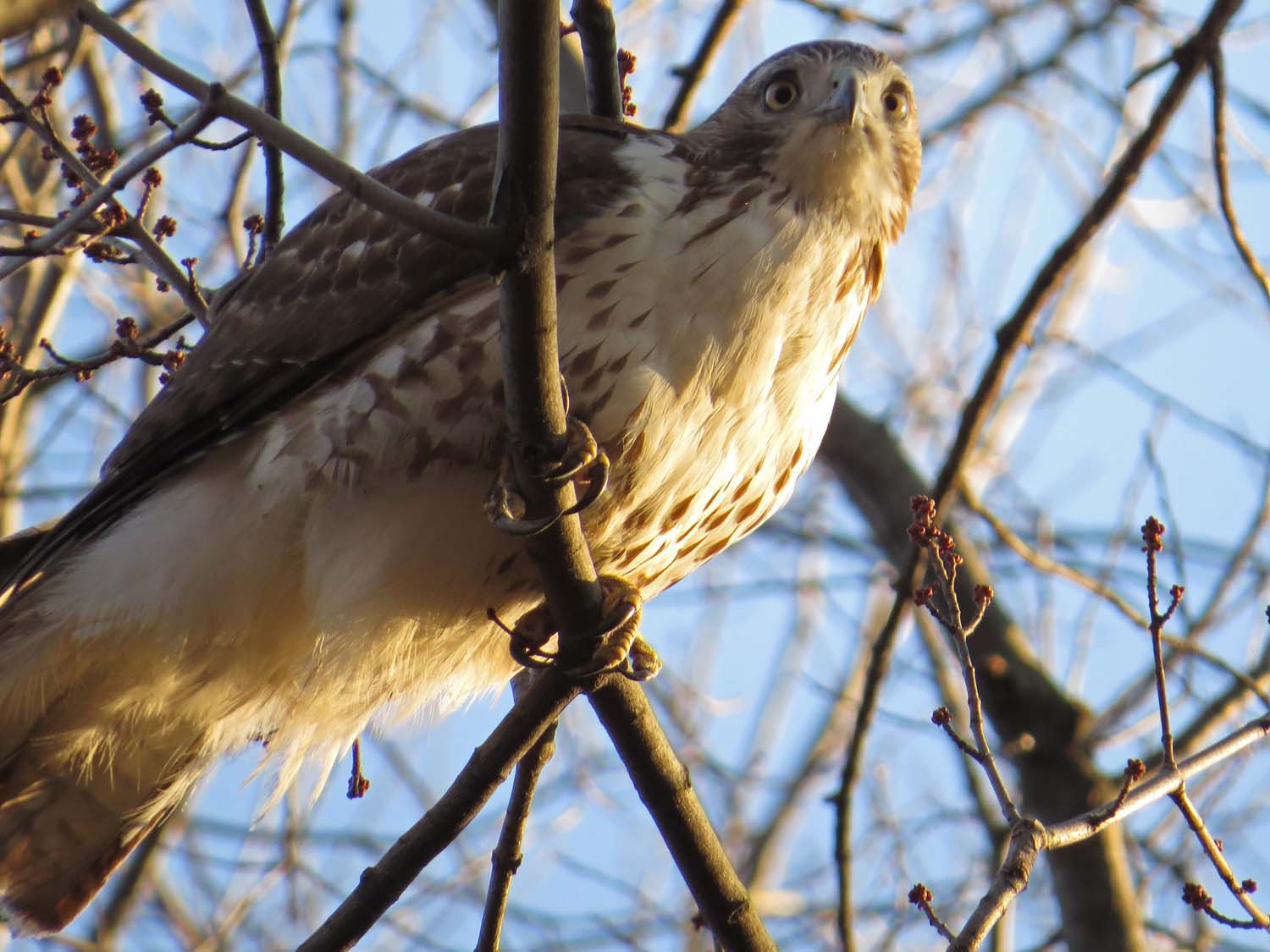 First-year red-tailed hawk, Jan. 30, 2017