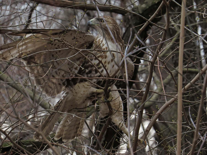 Hawk 1500 3-1-2017 116P.jpg