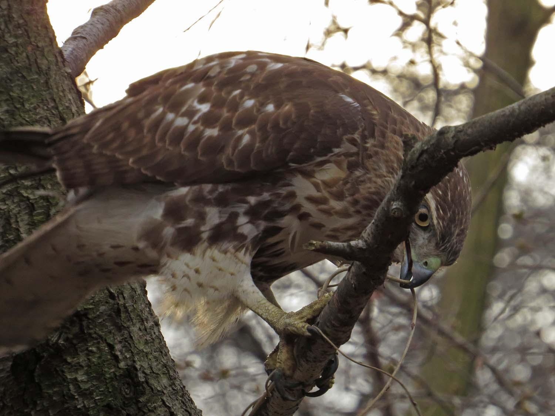 Hawk 1500 3-1-2017 242P.jpg