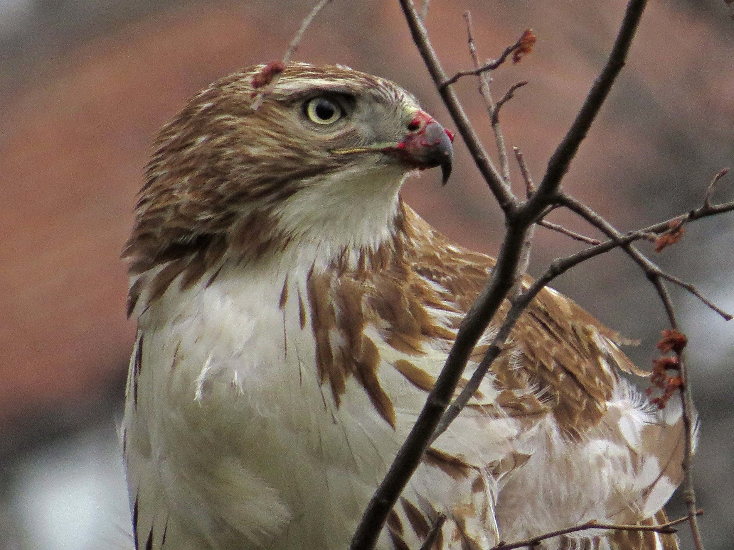 First-year red-tail with pigeon, March 26, 2017
