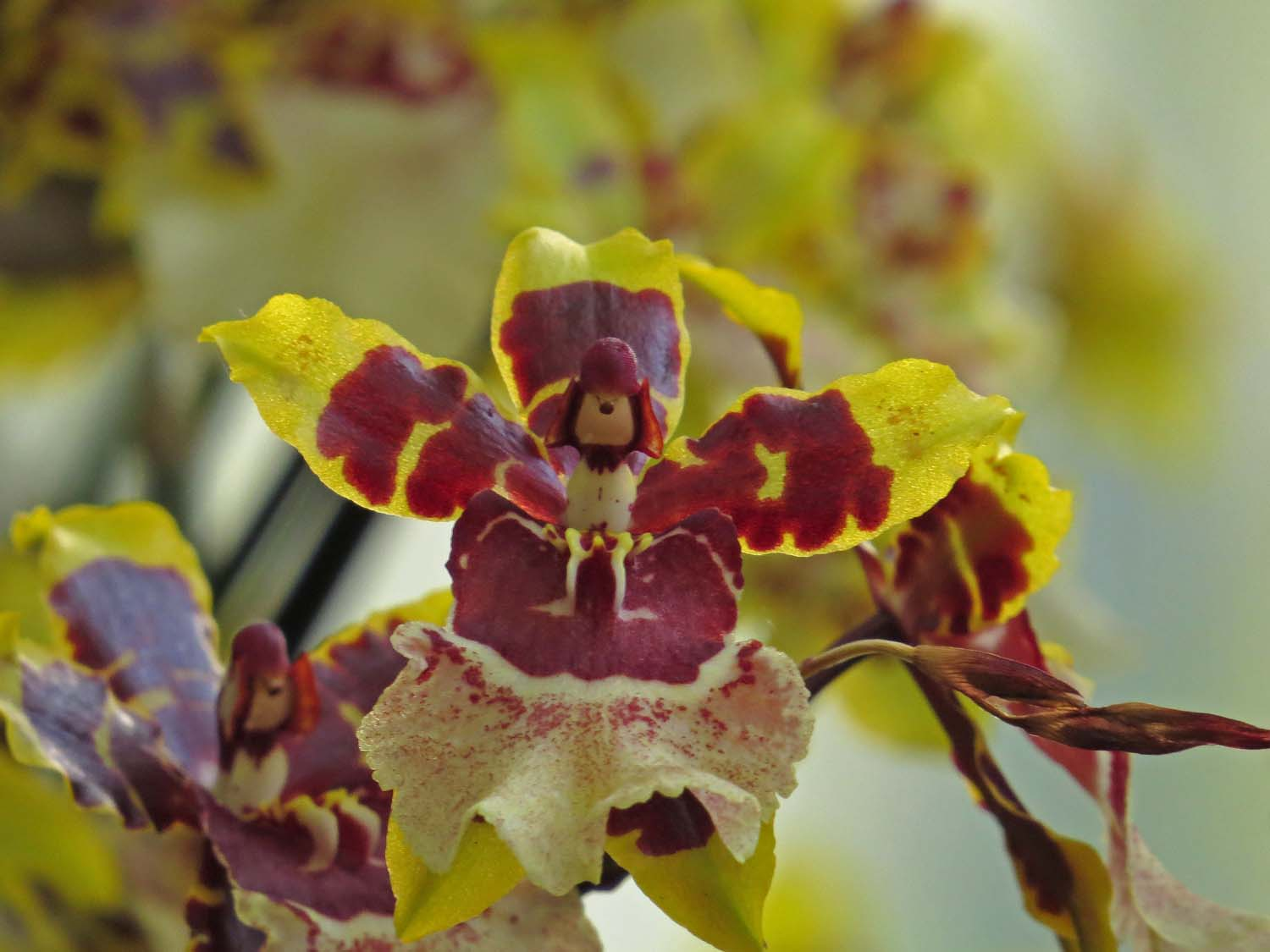 "Did Underdog visit the Orchid Show? One of the ""faces"" in the orchid blossoms."