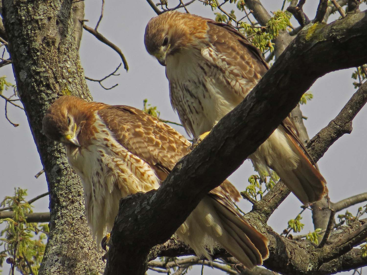 Red-Tailed Hawks: Fred and Ginger