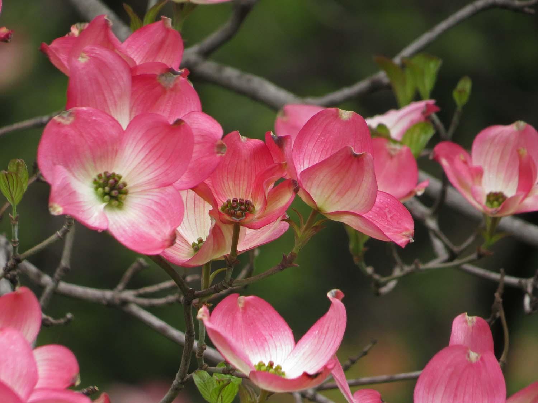 Pink dogwood, Shakespeare Garden,   April 22, 2017
