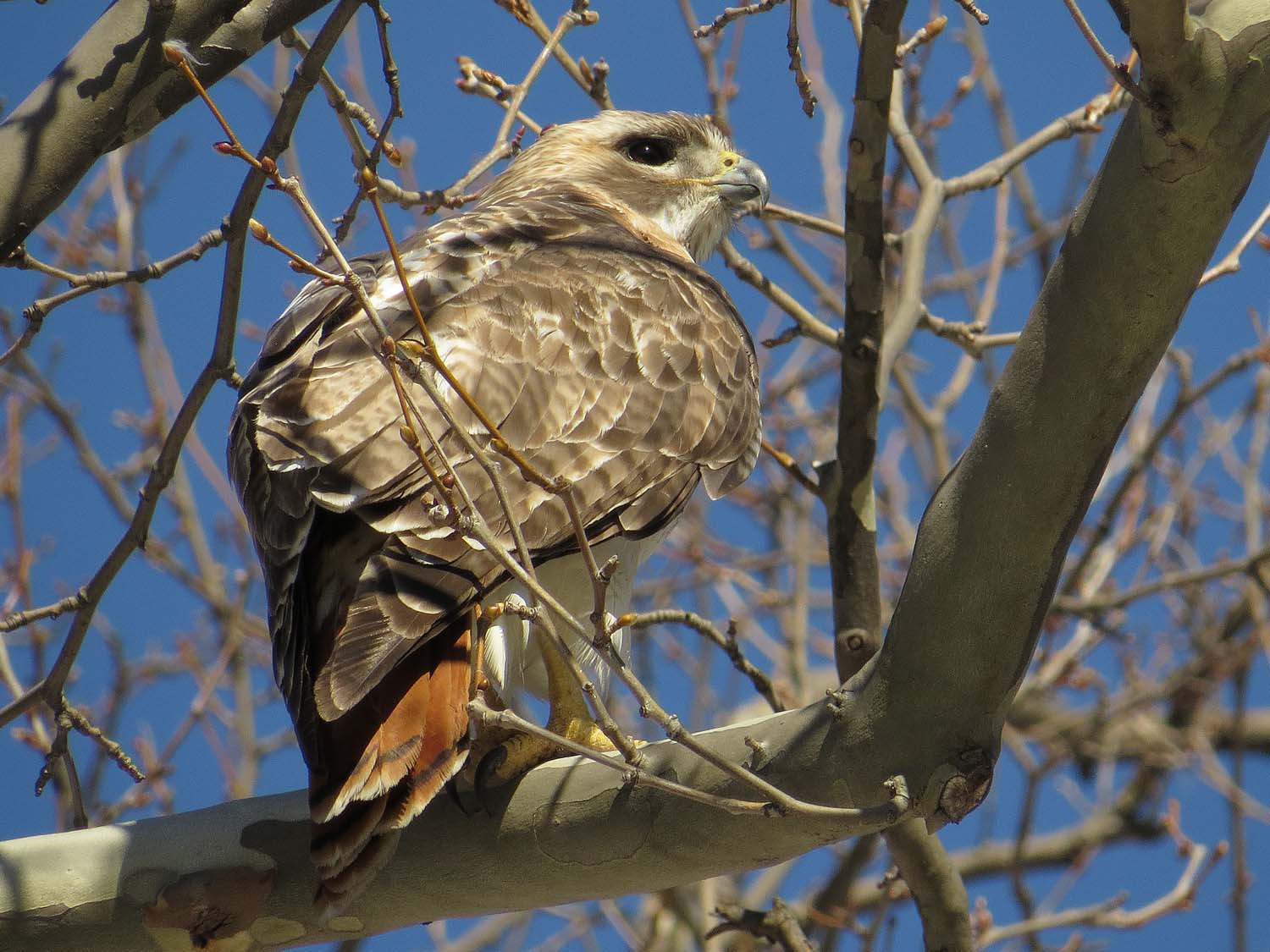 Pale Male, the Ramble, March 19