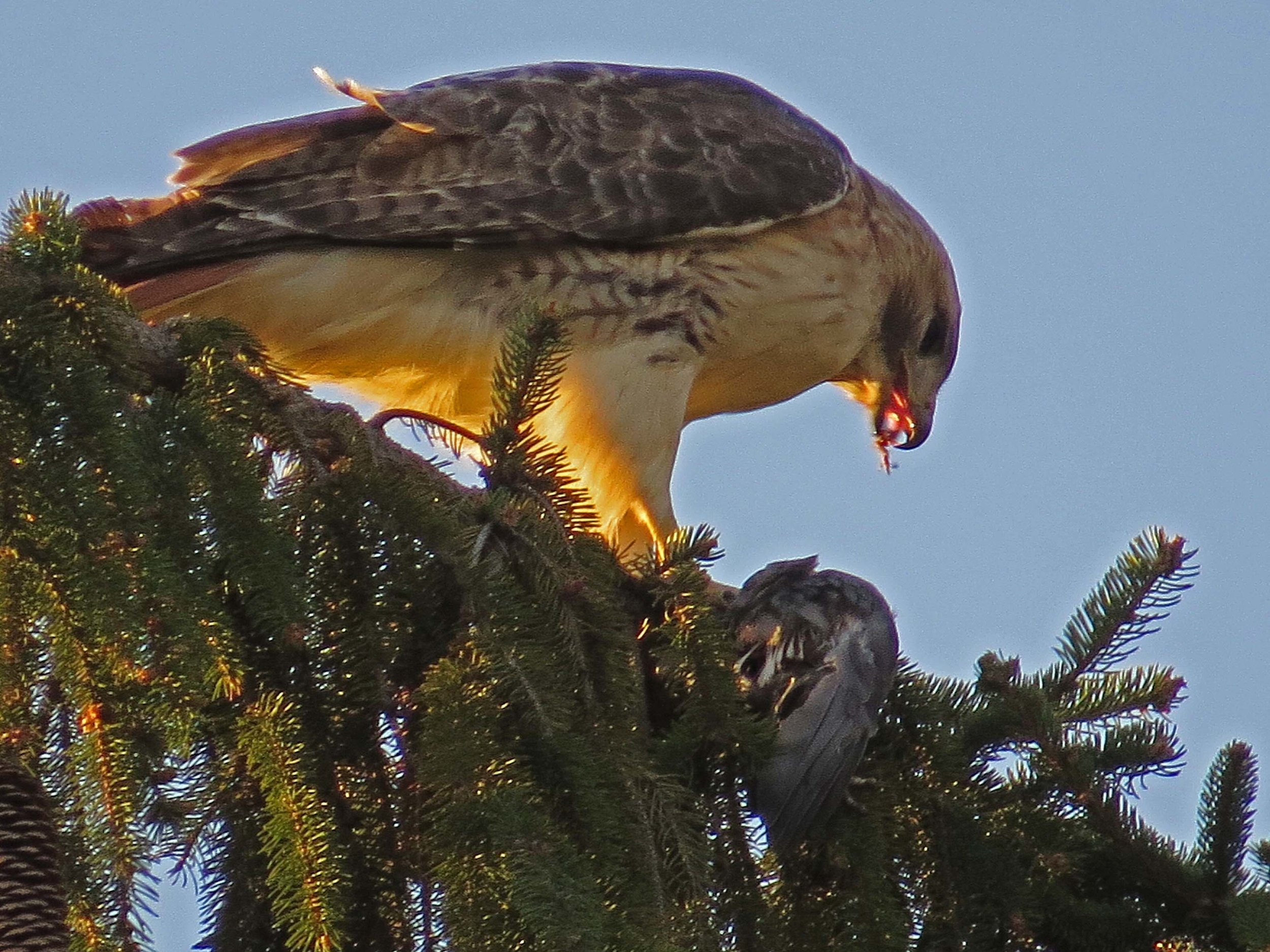 Pale on Cedar Hill, eating pigeon, April 14