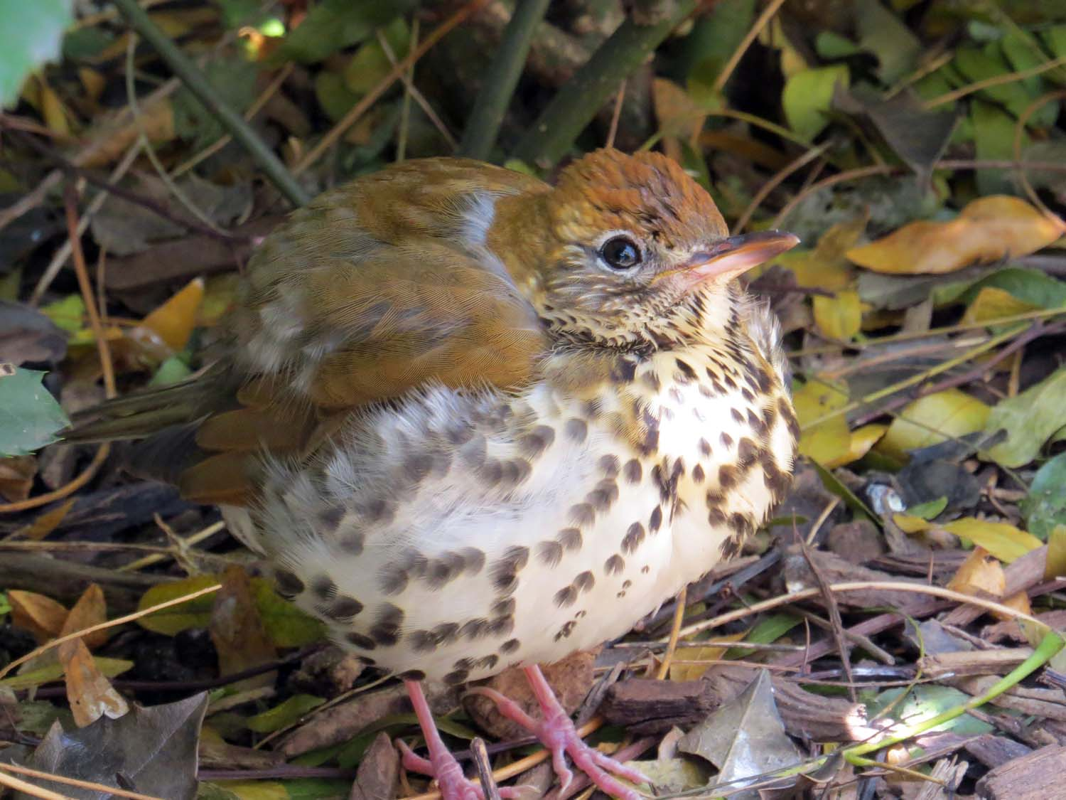 Wood Thrush 1500 11-14-2014 004PP.jpg