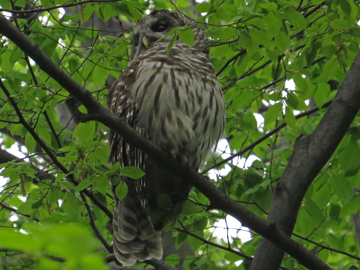 Shakespeare, a barred owl in the Ramble, April 26, 2017