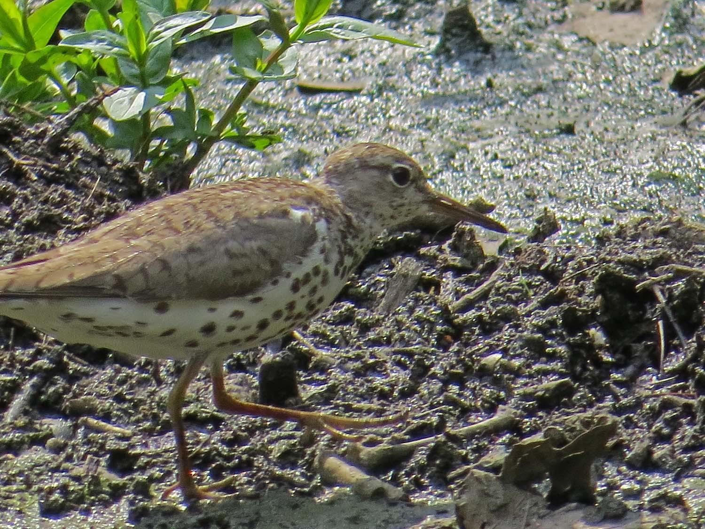 Spotted Sandpiper 1500 7-31-2014 057P.jpg