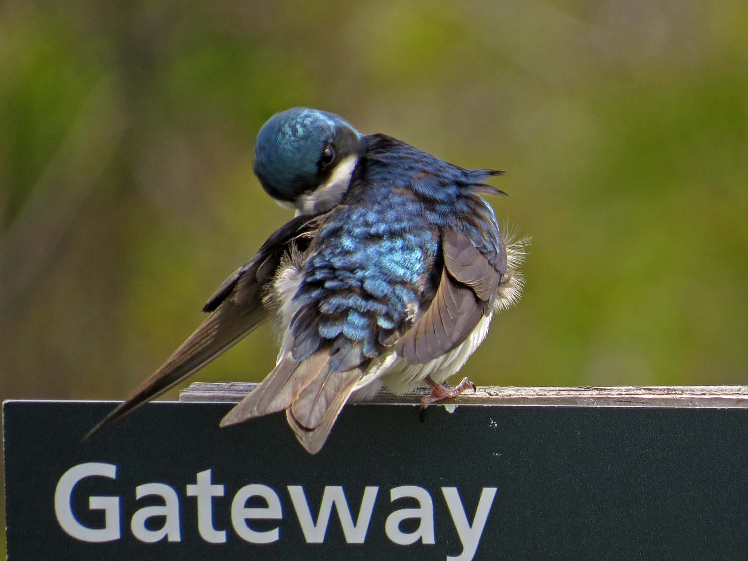 tree swallow 1500 5-16-2017 250P.jpg