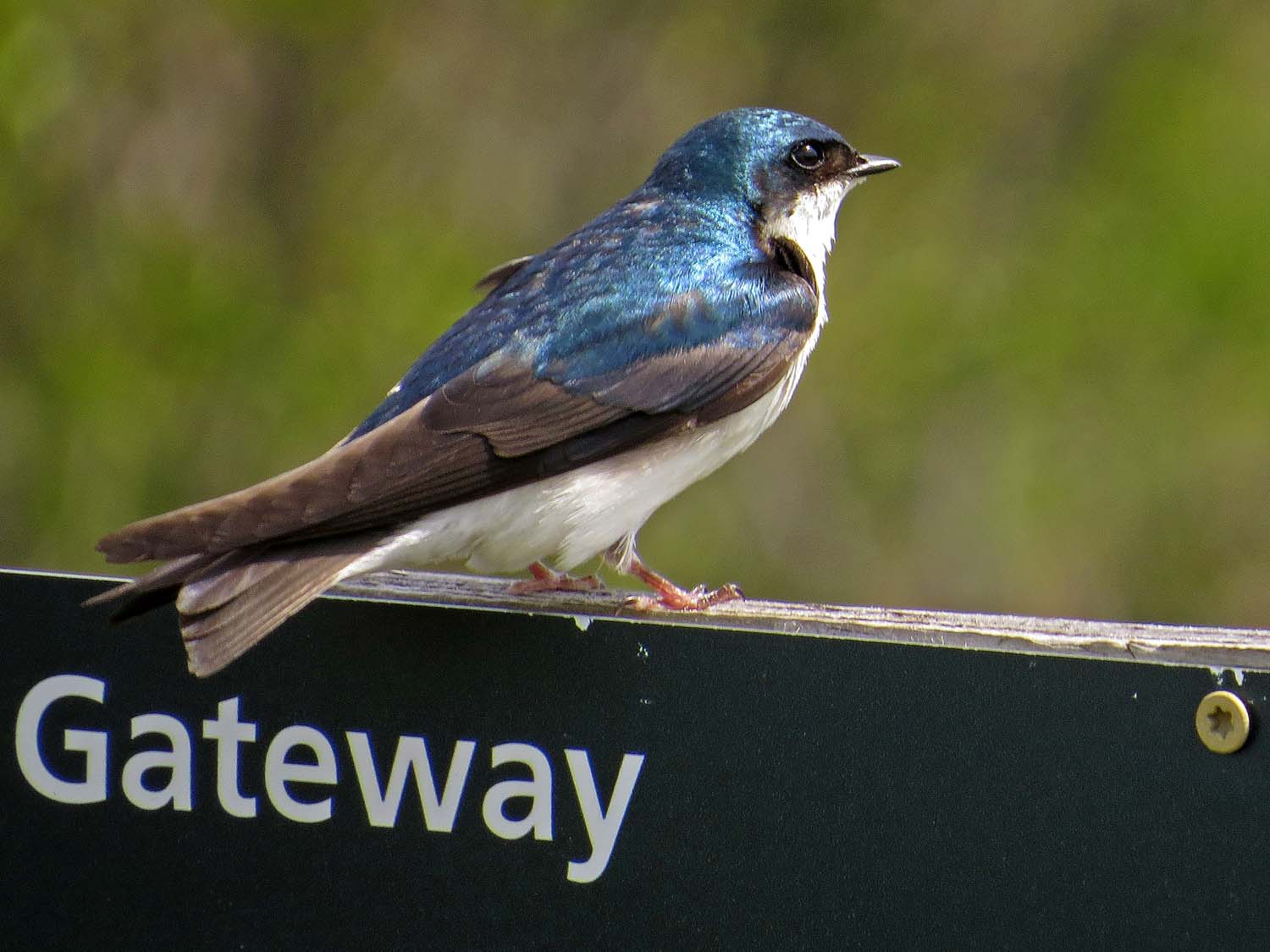 tree swallow 1500 5-16-2017 260P.jpg