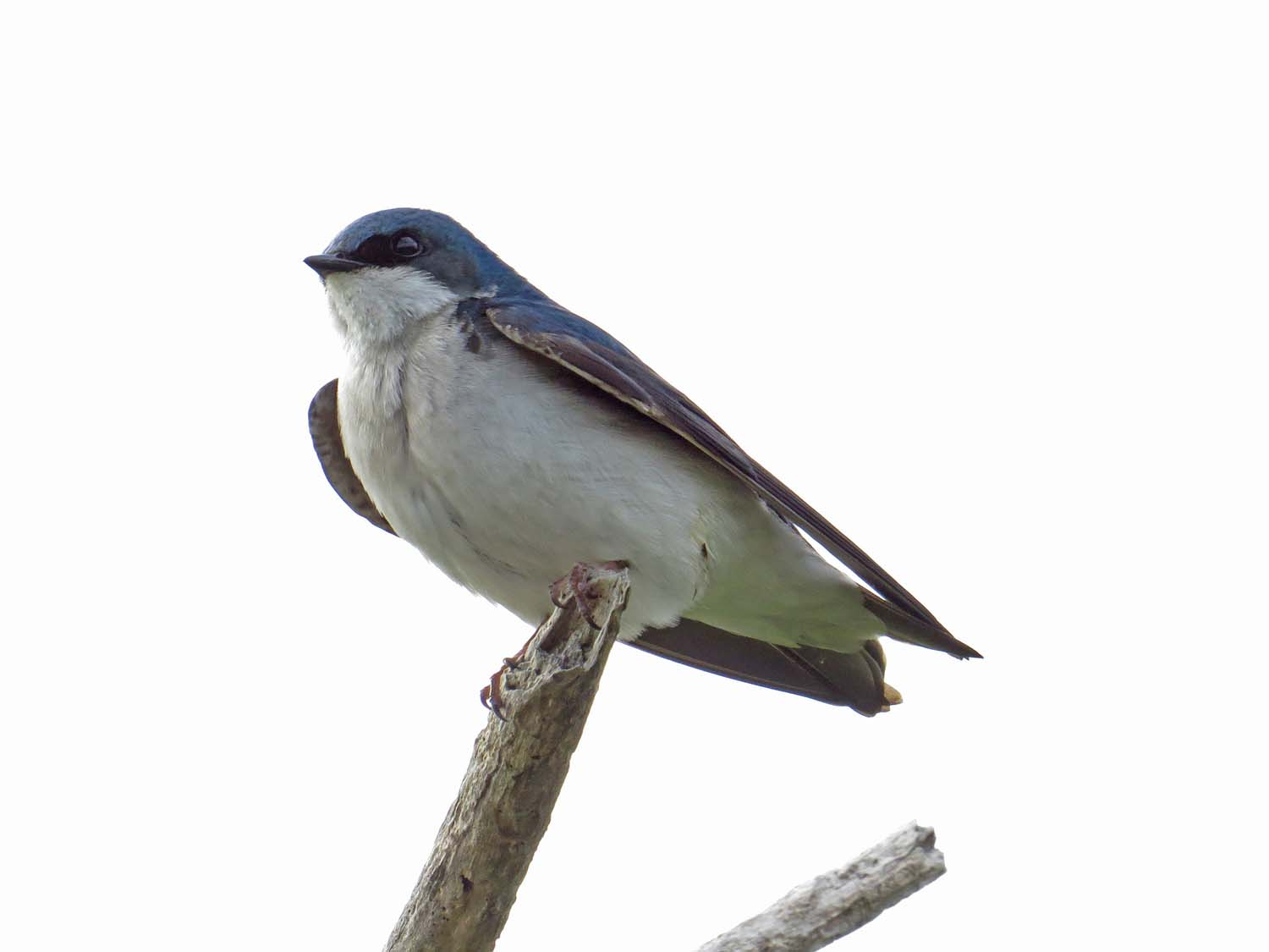 tree swallow 1500 5-16-2017 474P.jpg