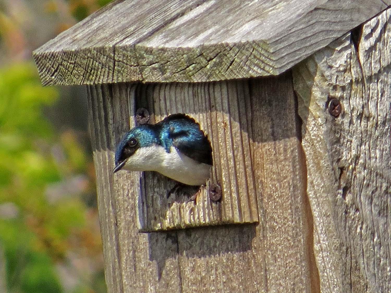 Tree swallow, Jamaica Bay Wildlife Refuge, May 16, 2017