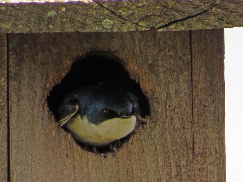 Tree Swallow 1500 5-16-2017 222P.jpg