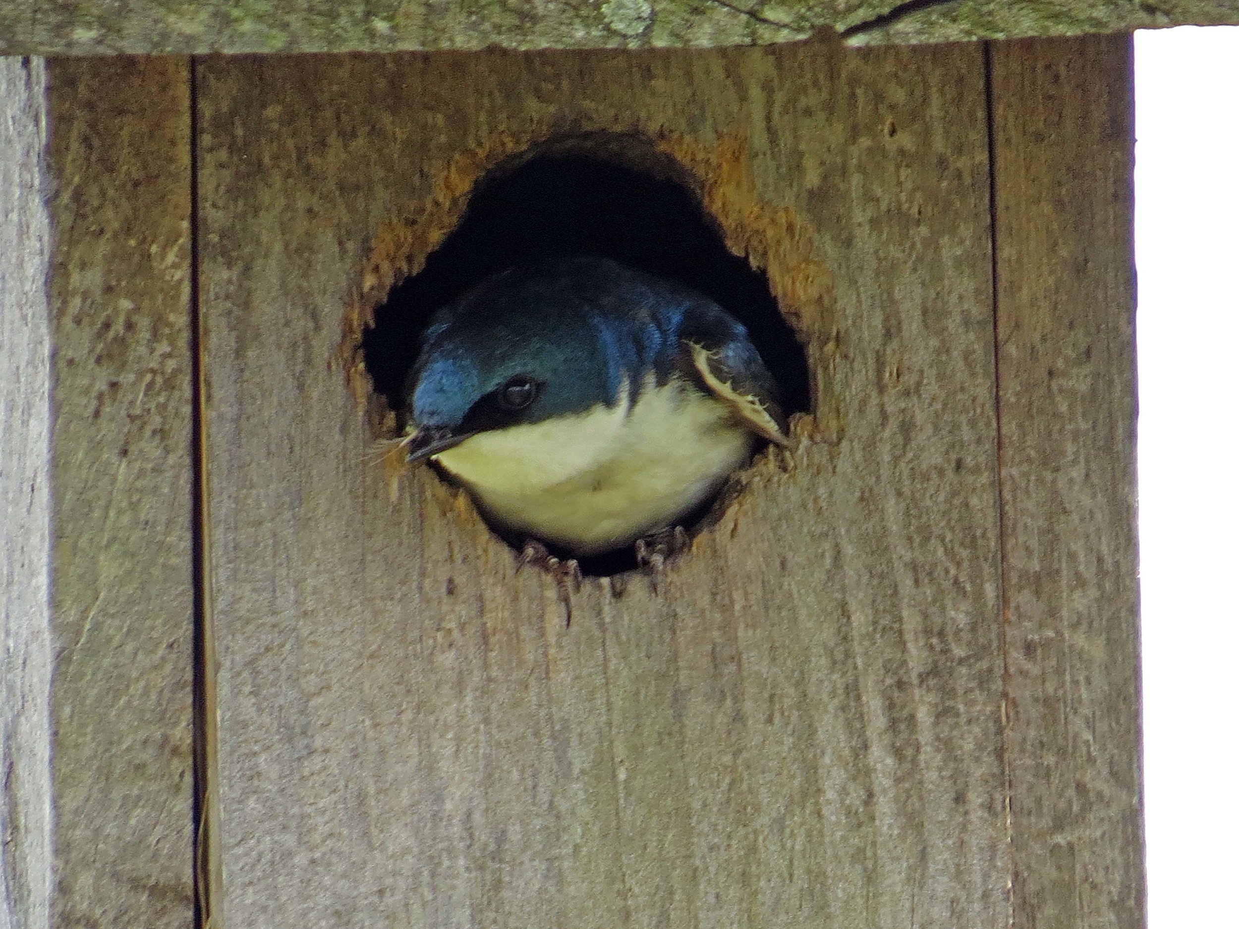 Tree Swallow 1500 5-16-2017 226P.jpg