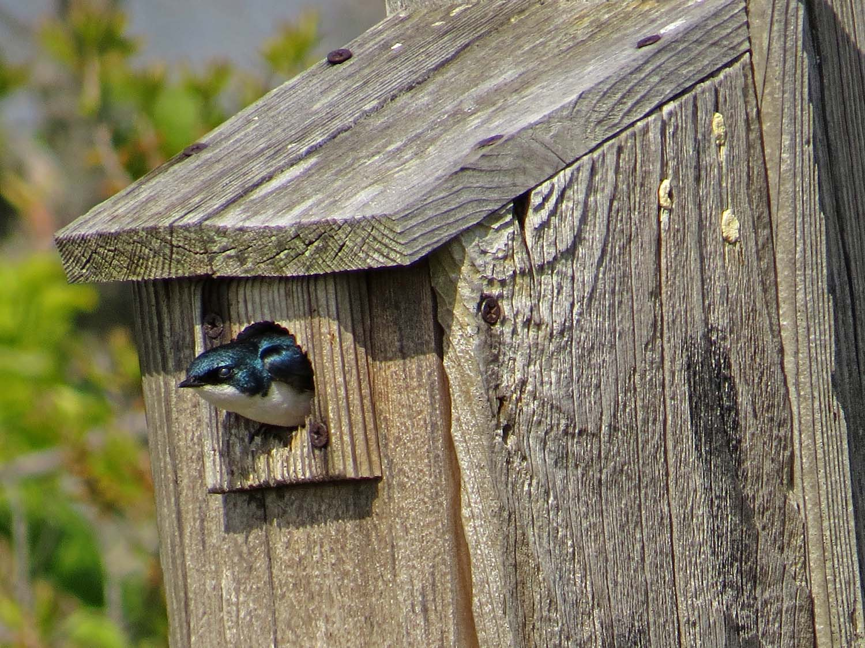 Tree Swallow 1500 5-16-2017 388P.jpg
