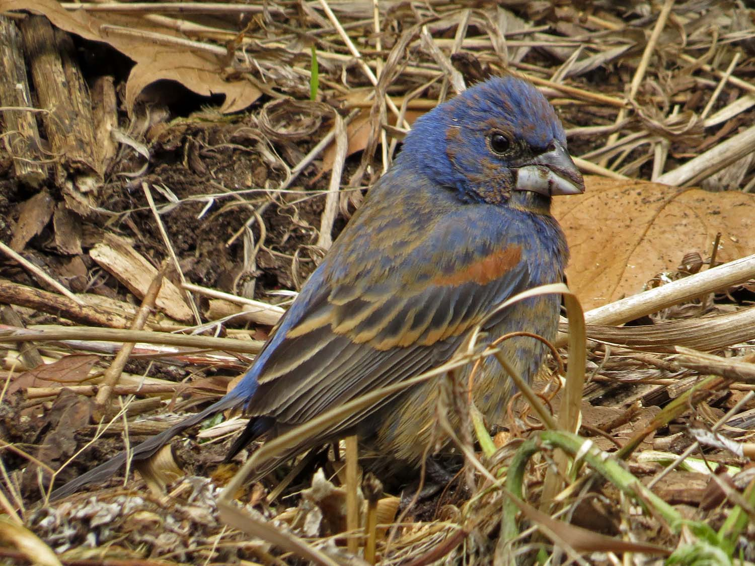 Blue grosbeak, Battery Park, May 11, 2017
