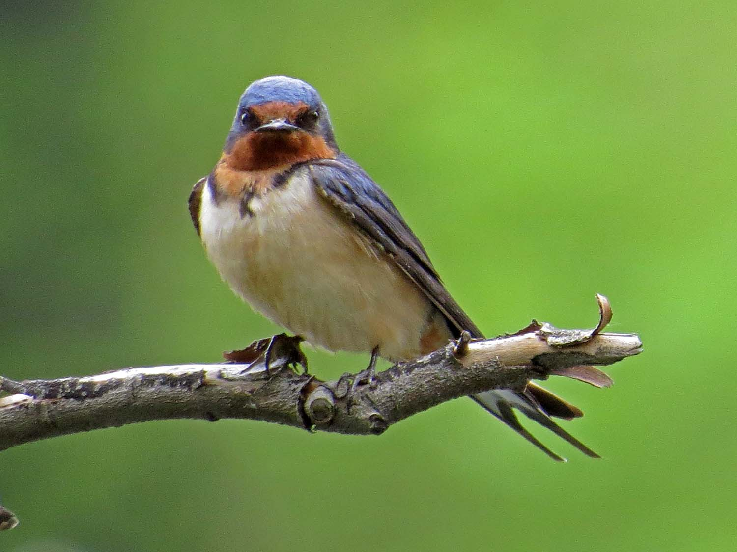 Barn swallow, over the Lake, Central Park, May 6, 2015