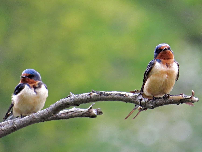 Barn Swallow 1500 5-6-2015 037P.jpg