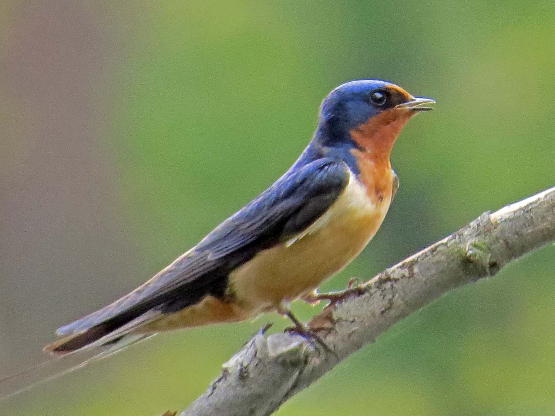 Barn Swallow 1500 5-6-2015 048P.jpg
