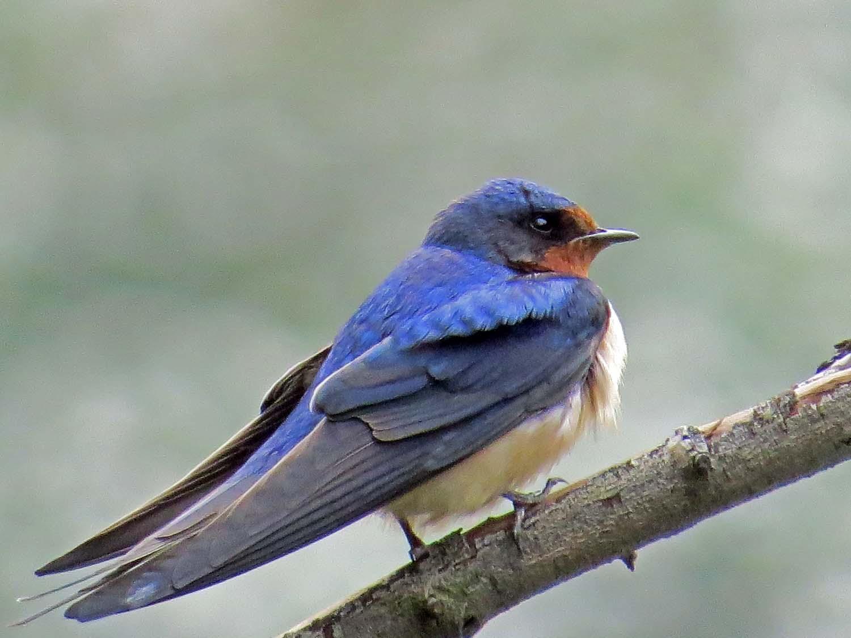 Barn Swallow 1500 5-6-2015 088P.jpg